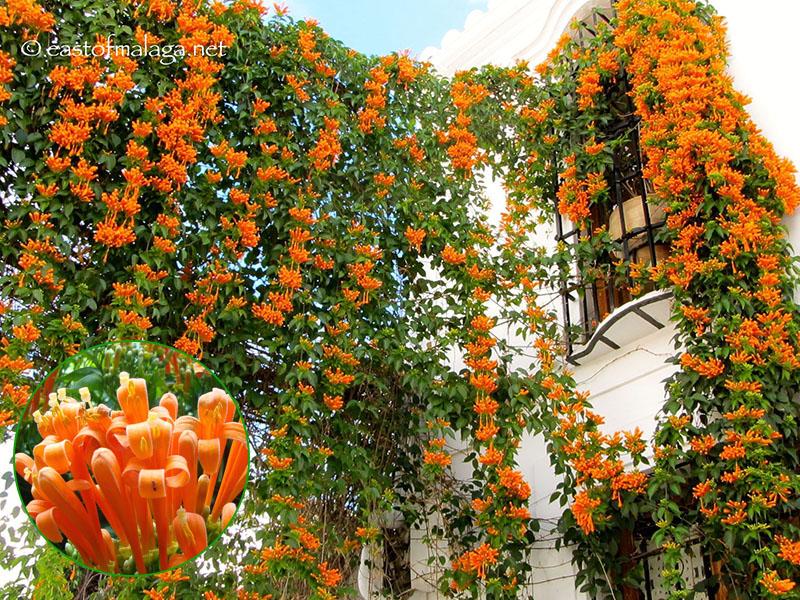 Cây hoa chùm ớt