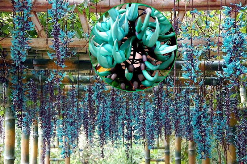 Cây hoa móng cọp xanh