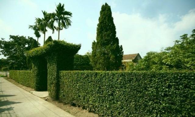hàng rào bằng cây xanh